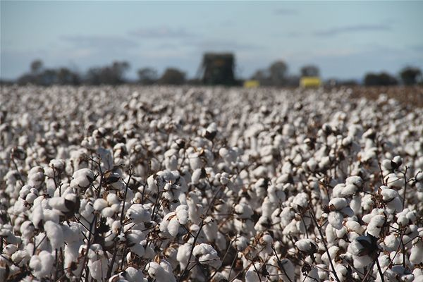 'Stunning' Weather Reversal Sends Cotton Prices Down 20% - cotton